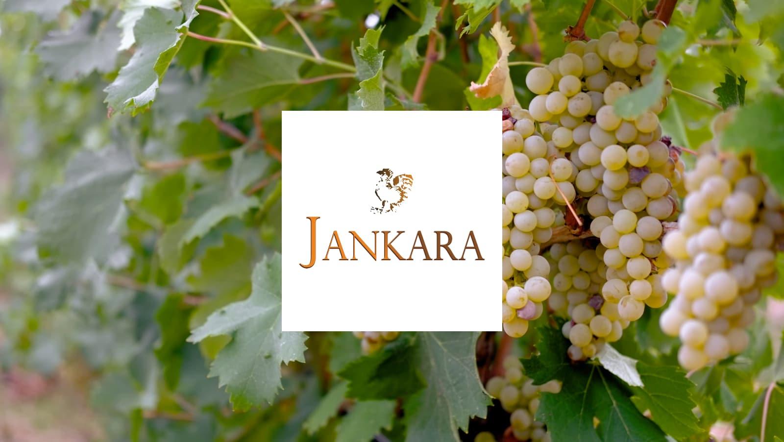 grappoli di uva vermentino nel vigneto Jankara