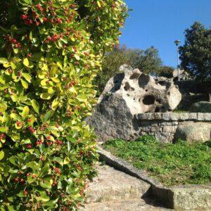pianta di lentischio vicino alla scalinata che porta al belvedere Lu Naracu